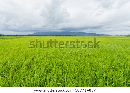 Rice fields with mountains