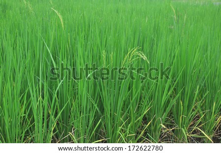Rice grass. - stock photo