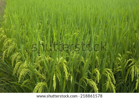 Rice grown ripe harvest - stock photo