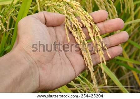 Rice harvest in hand - stock photo