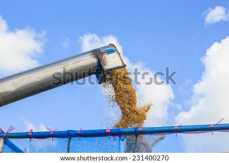 rice harvesting - stock photo