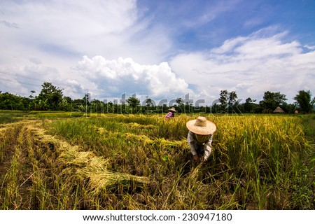 rice harvesting by worker - stock photo