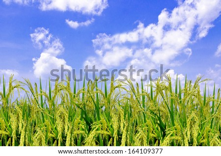 Rice leaves and blue sky
