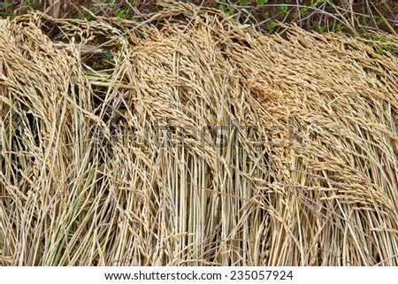 rice on the rice field - stock photo