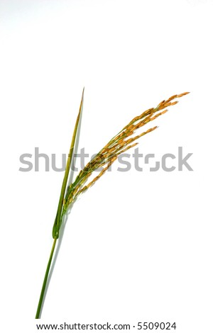 rice on the white background