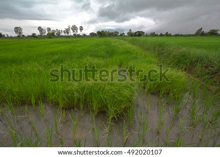 Rice or paddy field and storm sky in Thailand