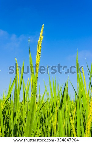 Rice Paddy and blue sky inThailand - stock photo