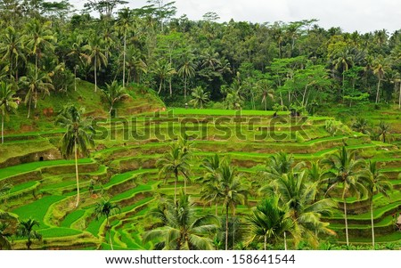 Rice paddy and coconut trees, Bali, Indonesia
