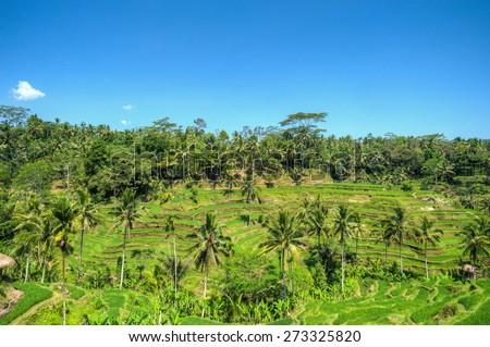 Rice paddy field at Tegallalang, Bali, Indonesia - stock photo