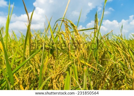 Rice paddy field awaiting harvest in Ben Tre Provice, Vietnam. - stock photo