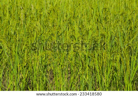 Rice Paddy Field   background ready to be cultivated in Asia - stock photo