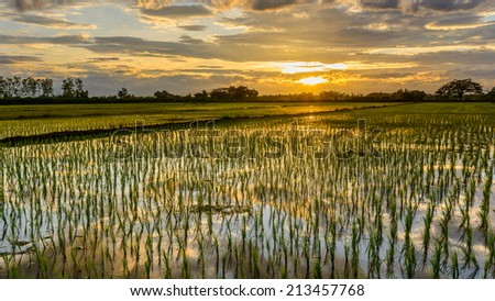 Rice paddy fields countryside in Lamphun Thailand. landspace view  paddy field plantation in  evening. - stock photo