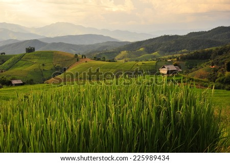 Rice Paddy Fields Landscape