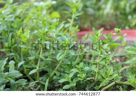 how to grow rice paddy herb
