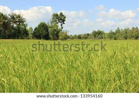 rice paddy in Thailand - stock photo