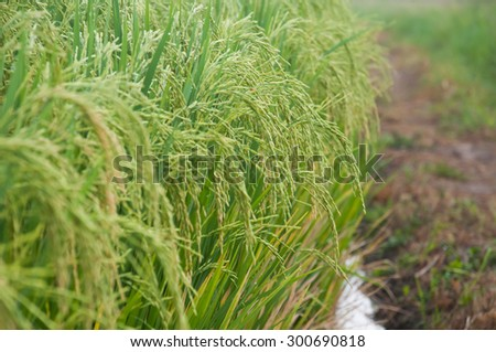 Rice panicle at milk stage in rice field  - stock photo