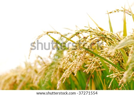 rice plant - stock photo