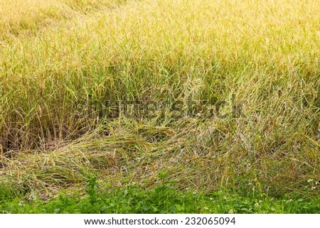 rice plant falling down because of strong wind. - stock photo