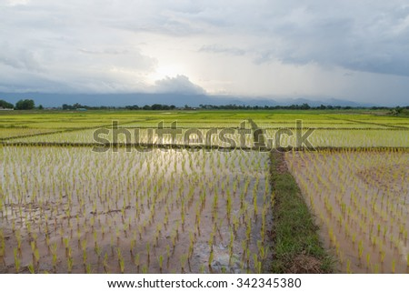 rice plant farmers planting rice. rice plant growing - stock photo