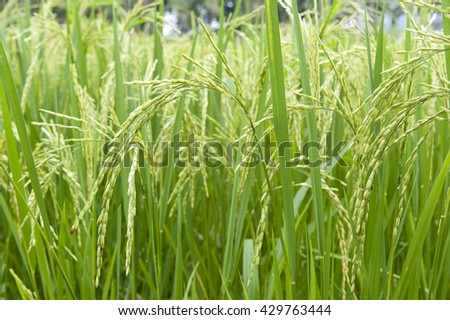 Rice plant in paddy field in Thailand
