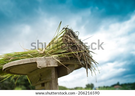 Rice plant in rice field - stock photo