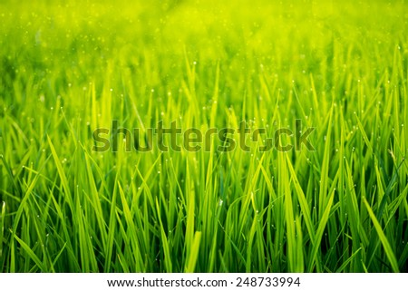 rice plant in rice field with drop dew - stock photo