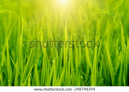 rice plant in rice field with drop dew