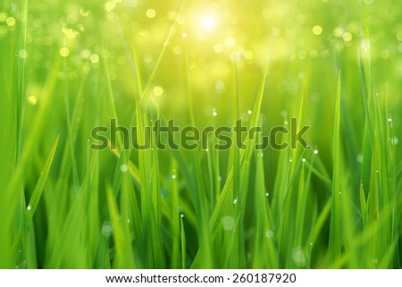 rice plant in rice field with drop dew. - stock photo