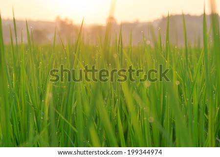 Rice plantation with sunset