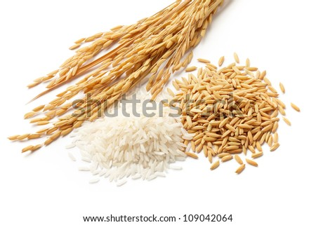 rice plants with white rice and unmilled rice isolated on white - stock photo