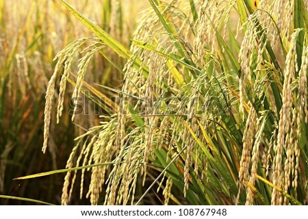 rice ready for harvest - stock photo