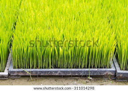 Rice seedling in tray planting - stock photo