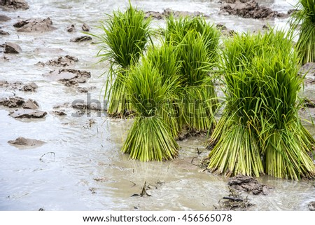 Rice seedlings in a rice field - stock photo