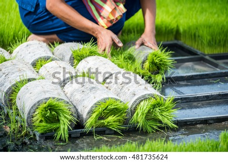 Rice seedlings plant
