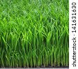 Rice seedlings were grown to a spike. The food is consumed - stock photo
