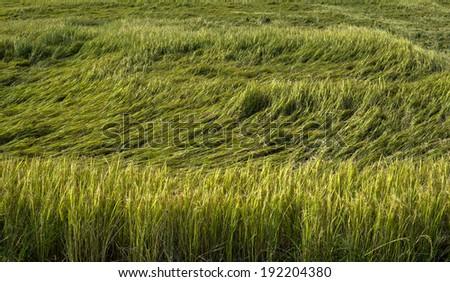 Rice spike  - stock photo