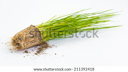 rice sprout isolated close up - stock photo