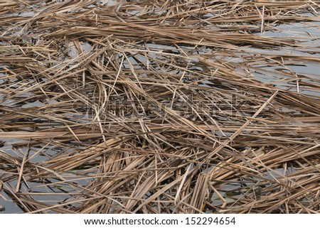 Rice straw in the water - stock photo