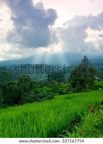 Rice terrace before sunset. Beautiful green rice paddy field in the evening. Sunbeams through the clouds. - stock photo