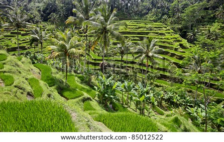 Rice terrace fields, Bali, Indonesia. - stock photo