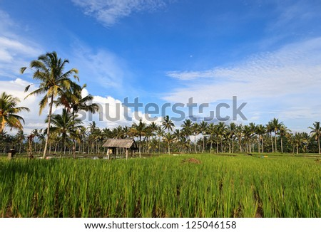 Rice terrace with palms on Bali island