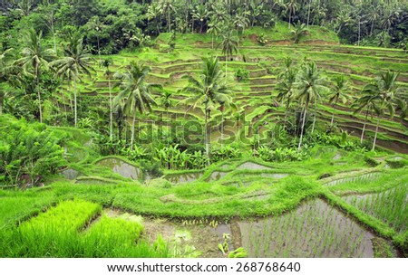 Rice terraces in small town Ubud on Bali island,Indonesia