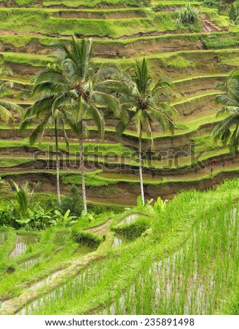 Rice terraces in Ubud, Bali, Indonesia - stock photo