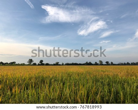 Rice with harvest