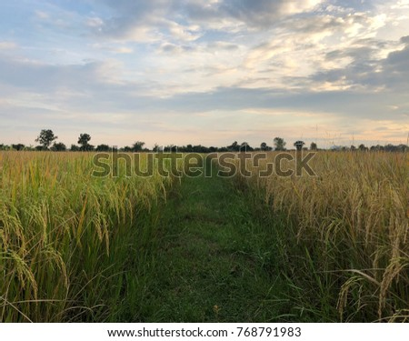Rice with harvest, rice plant.