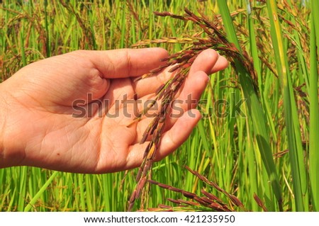 riceberry in the field of Thailand