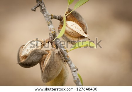 rich almonds on the tree ready for harvest - stock photo