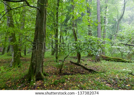 Rich deciduous stand in heavy rain with old moss wrapped hornbeams in foreground - stock photo