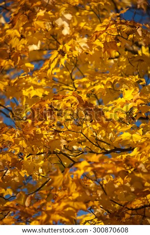 Rich golden hue of Autumnal leaves during dusk. - stock photo