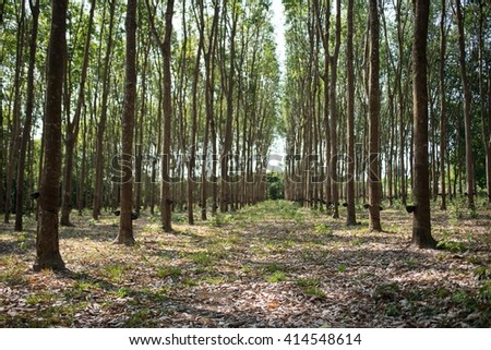 rich green rubber tree plantation